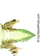 green tree frog reflection