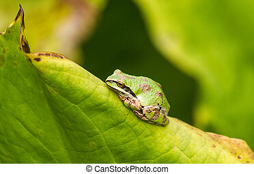 Green Tree Frog rests on a leaf in garden.