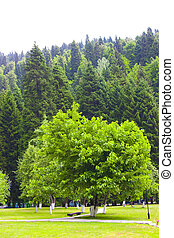 Green tree growing in city park on a background of mountains covered by vegetation