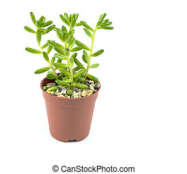 Green tree in a pot isolated on white background.