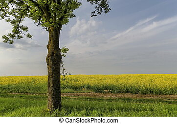 Green tree in the yellow colza fiel