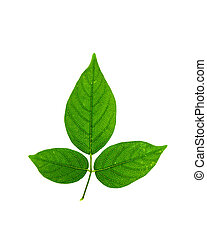 Green tree leaf isolated on white background