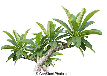 Green tree of Frangipani flower isolated on white. Saved with clipping path