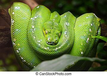 Close up portrait of beautiful Green tree python (Morelia viridis) looking into camera, low angle view