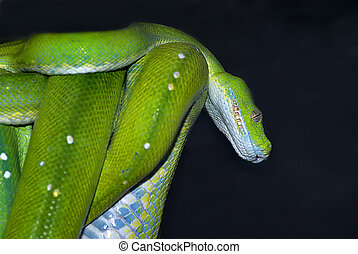 (Morelia viridis) green tree python