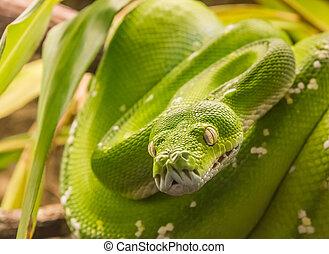 Green tree python (Morelia viridis) snake, native to New Guinea and Indonesia
