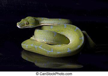 Green Tree Python (Morelia viridis) sorong locality isolated on black background.