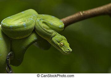 Green tree python (Morelia viridis) sorong locality
