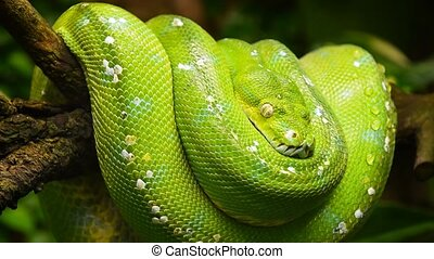 Green tree python profile portrait close up - Cinemagraph of...