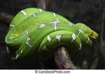 Green Tree Python Snake