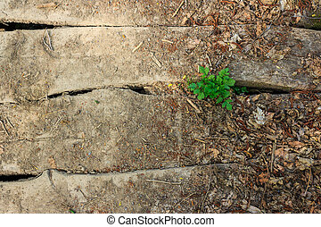 green tree through old planks - green tree has sprouted...