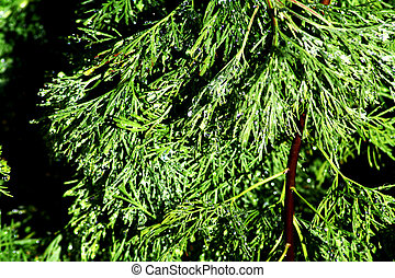 Green treen - evergreen tree