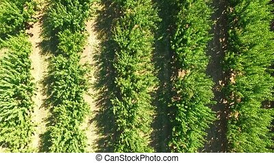 Green Trees Growing In Rows In Standard Orchard - AERIAL...