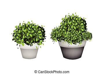 Green Trees in Terracotta Flower Pots on White Background -...