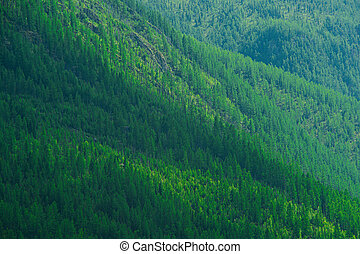 Green trees on the hill. The slope is covered with coniferous forest