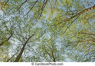Green trees photographed from bellow against the blue sky .