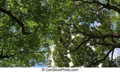 Green treestops in wind - Treetops in strong wind gusts in...