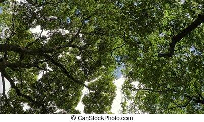 Green treestops in wind - Treetops in strong wind gusts