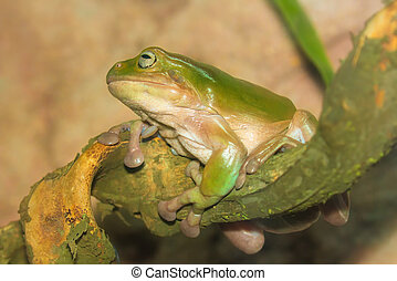 Green tropical frog on a branch, close-up