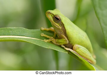Green tropical meadow frog