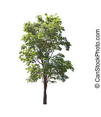 Green tropical tree. - Green tropical tree isolated on white...
