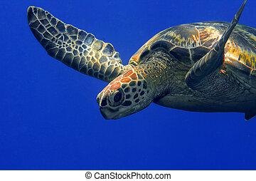 Green turtle - A green turtle at Sipadan, Borneo, Malaysia
