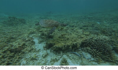Green Turtle Above Coral Sea Bed, Great Barrier