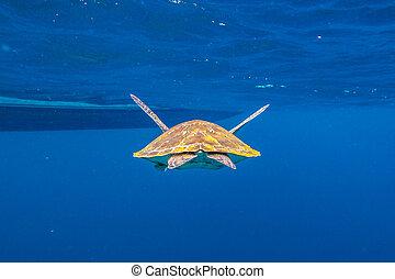 Green turtle at Similan