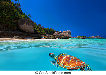 Green Turtle at Similan Islands - Green Turtle above and...