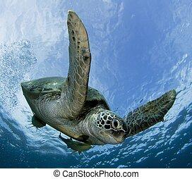 green turtle - green sea turtle