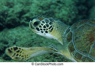 Green Turtle Swimming over a coral reef.