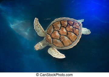 Green turtle swims above in ponds for aquaculture.