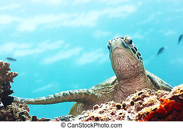 Green Turtle underwater close-up. Sipadan. Celebes sea