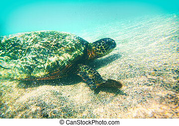 Green turtle underwater photography in Hawaii - marine wildlife animal swimming in turquoise water - environment conservation , eco-friendly