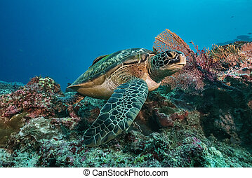 Green turtle underwater swimming on coral reef scuba diving