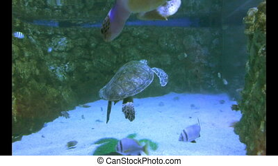 Green Turtles in water tank