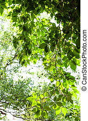 green twig of Parthenocissus plant and blurred willow tree...