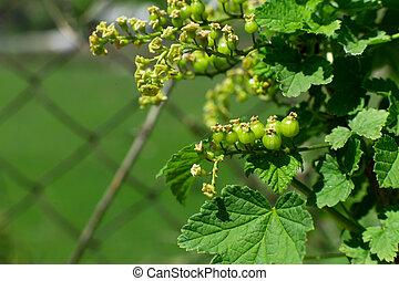 Green unripe gooseberries on a bush in the garden