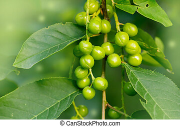 green unripe plums. macro