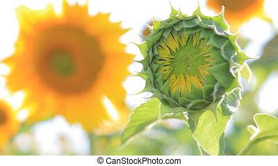 Green unripe sunflower
