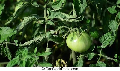 green unripe tomatoes in garden - green unripe tomatoes in...