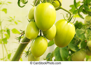 Green, unripe tomatoes on a branch, close-up
