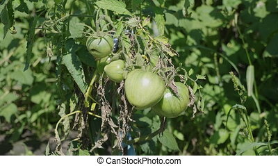 Green unripe tomatoes on the bush.