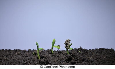 Green vegetable marrow sprout growing