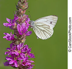Green-Veined White Butterfly feeding on a wildflower.