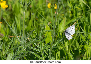 Green-veined white butterfly pearching on green grass in the...