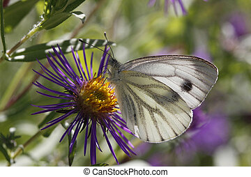 Green-veined White butterfly (Pieris napi) on New England...