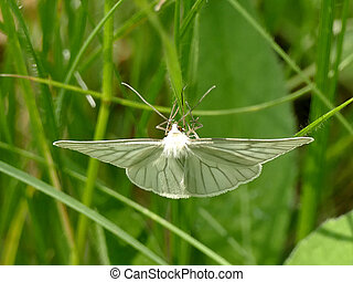 Green-veined white on a grass