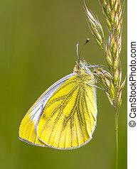 Green veined white on grass - Green-veined white (Pieris...