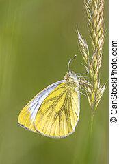 Green veined white resting on grass